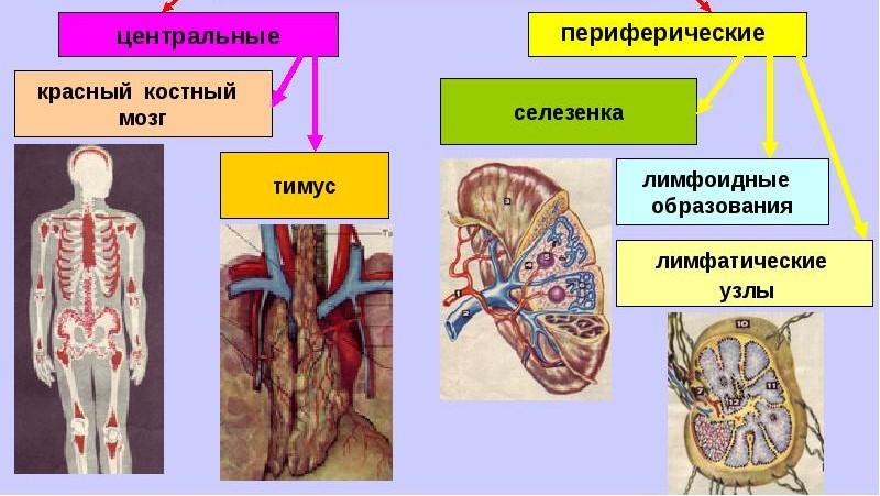 Органы кроветворения