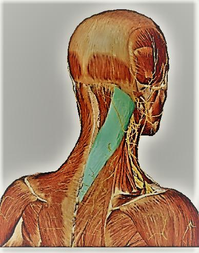 это спазм мышц шеи фото марки